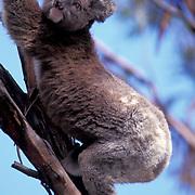 Koala, (Phascolarctos cinereus) Kangaroo Island. Australia.