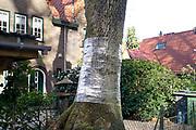 Nederland, Beek, 15-4-2020Bewoners van dit huis hebben een boom in hun tuin, voortuin, omwikkeld met inpakfolie, plastic als preventieve bestijding van de eikenprocessierups . Het idee achter plastic stroken om een eik is dat de rupsen er niet meer in slagen om vanuit hun grondnest het loof voorbij de stam te bereiken.Foto: Flip Franssen