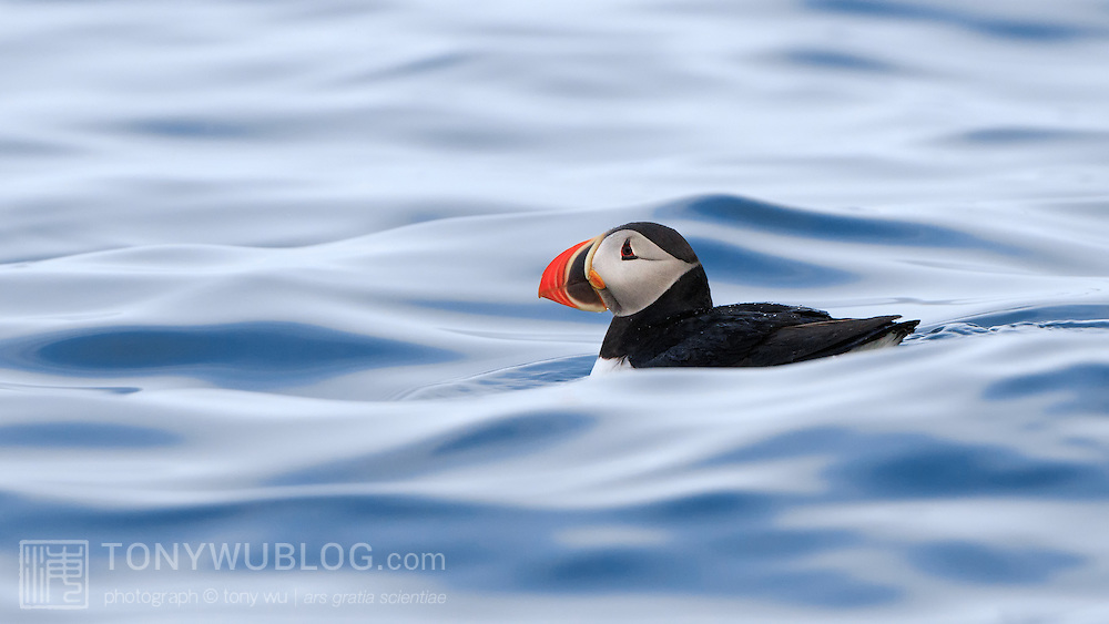 Atlantic puffin (Fratercula arctica) swimming on the ocean surface after divind down to catch fish
