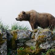 Alaska brown bear. Alaska.