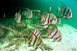 Atlantic spadefish, .Chaetodipterus faber, .Sands Cut, Biscayne National Park, .Florida (Atlantic).
