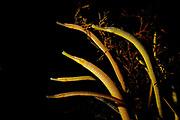 Snake pipefish, Entelurus aequoreus.