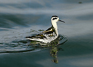 Red-necked Phalarope Phalaropus lobatus L 18cm. Confiding wader that habitually swims, picking food from water's surface. Non-breeding life spent at sea. Adult female in summer has brown upperparts, with buff feather margins on back. Note white throat, dark cap and reddish orange neck; grey breast and mottled flanks grade to white underparts. Adult male in summer is similar but duller. Winter adult has grey upperparts, nape and hindcrown, white underparts and black eyepatch. Juvenile recalls winter adult but grey elements of plumage are mainly brown or buff; grey feathers acquired gradually. Voice Utters a sharp kip call. Status Mainly Arctic breeding species. Britain and Ireland are at S limit of range and hence rare and mainly in N. Nests beside freshwater pools. Best known as scarce passage migrant, seen mainly in wake of severe gales.