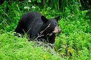 Black Bear with fishing for Salmon in mouth in Valdez, Alaska