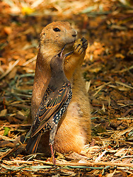 The starling is still trying to steal food from the prairie dog.