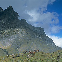 A pack train for a National Geographic archaeology expedition rests atop Choquetecarpo Pass (5100+ meters) in Peru's Cordillera Vilcabamba mountains..