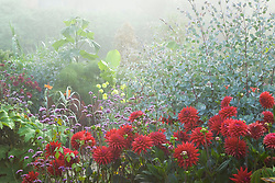 Foggy morning in the exotic garden at Great Dixter. Dahlia 'Wittemans Superba', Verbena bonariensis and Eucalyptus gunnii in the foreground with Paulownia tometosa in the distance