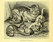 Domestic cats From the book ' Royal Natural History ' Volume 1 Edited by  Richard Lydekker, Published in London by Frederick Warne & Co in 1893-1894