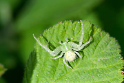 Crab spider, Heriaeus hirtus, Often found on very hairy plants for camouflaged Lesvos Island Greece , lesbos