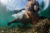EXTREME close-up as BEAR goes in to sniff Russian wildlife photographer
