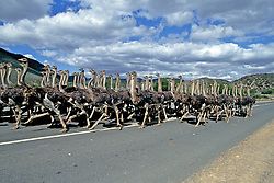 Ostriches On Road