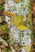 Sycamore, oak and beech leaves on frosty forest floor, The Cotswolds, UK