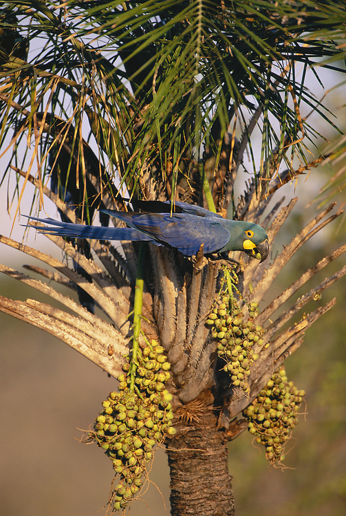 Lear's Macaw feeding on Licuri Palm<br />Anodorhynchus leari<br />Caatinga of e BRAZIL.  South America<br />VERGE OF EXTINCTION  (+- 400 in the wild in 2003)