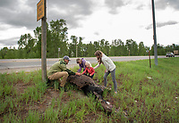 Joel Pintius and his wife, Laura, of Goshen, Indiana, talk to their kids, Emmy, 7, and Evelyn, 3, about a moose that was killed the night before at the intersection of Highway 22 and Highway 390, the second killed at the intersection in less than a week. Joel Pintius is a former guide and naturalist for Wildlife Expeditions of Teton Science Schools and said he was using the opportunity to teach his kids about wildlife appreciation.