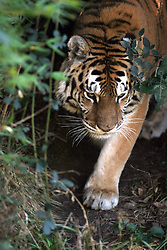 A female Bengal tiger paces around her enclosure at the Oakland, Calif. zoo, Wednesday, Dec. 26, 2007. In the wake of the escape of a Siberian tiger at the San Francisco zoo Tuesday that left the tiger and one zoo visitor dead and two other men seriously injured, officials in Oakland said they were confident that visitors were not in danger. (D. Ross Cameron/The Oakland Tribune)