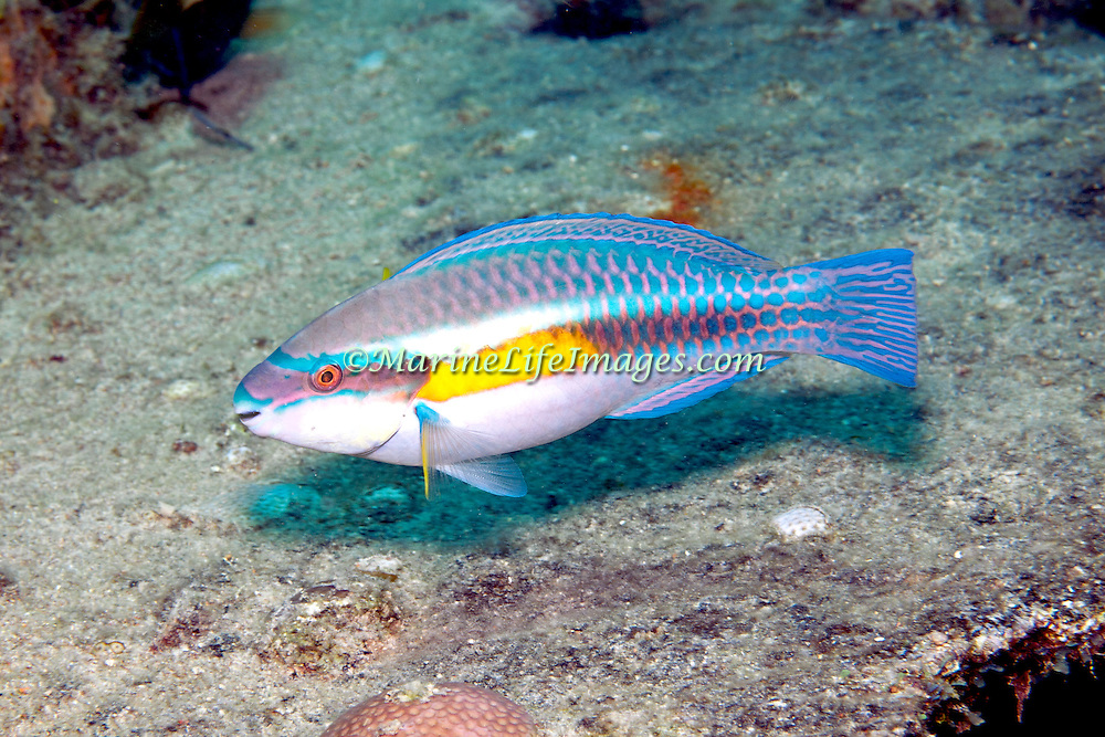 Striped Parrotfish swim about reefs and adjacent areas scrapping filamenmtous algae from hard substrates in Tropical West Atlantic; picture taken Key Largo, FL.