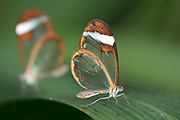 Glasswing Butterfly, Greta Oto, South America, pair resting on leaf, delicate, clearwing