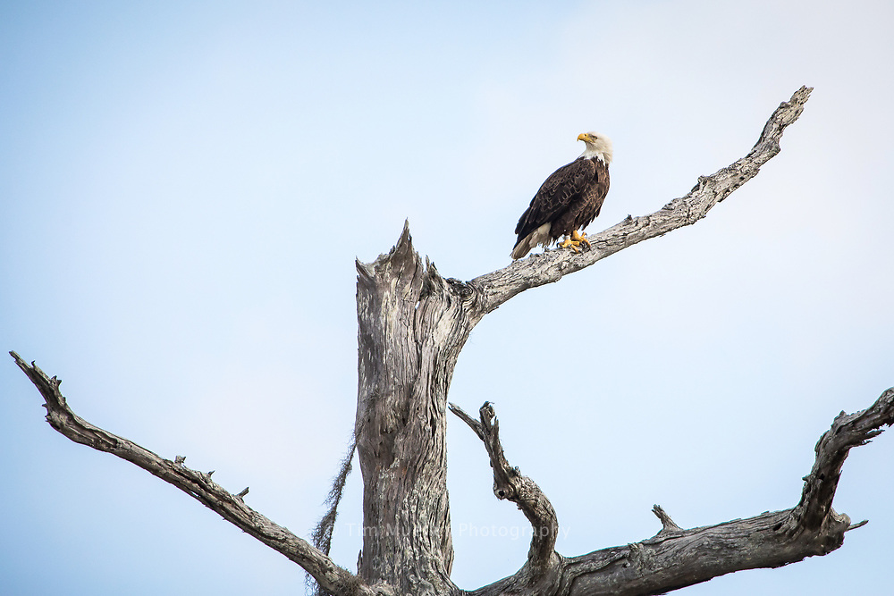 Scenic landscape and wildlife spotted around Belle River, Stephensville and the bayous around Grassy Lake in St. Martin Parish. Wildlife includes pelicans, eagles and anhingas.