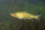 Steelhead Trout, White River, Ashland County, WI<br /> <br /> Roger Peterson/ENGBRETSON UNDERWATER PHOTO
