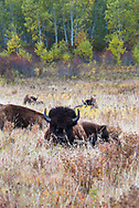 Bison graze and rest in the grassland and forested habitat of the Lake Audy Bison Enclosure at Riding Mountain National Park, Manitoba, Canada