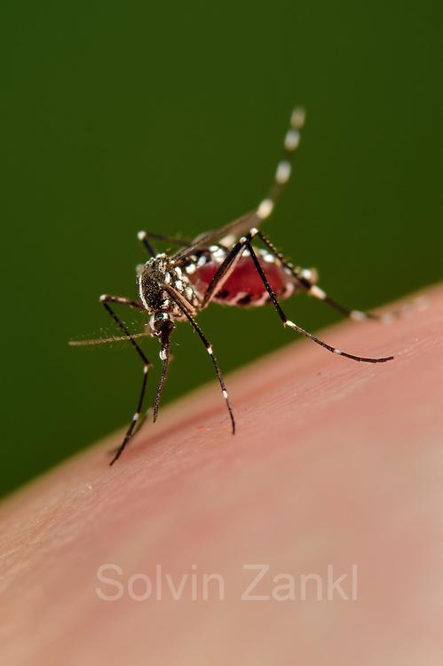 Bloodsucking Asian tiger mosquito (Aedes albopictus) (Synonym Stegomyia albopicta) is an vector for the  yellow fever virus, West Nile virus (WNV) , dengue fever and Chikungunya fever. Freiburg, Germany | Asiatische Tigermücke (Aedes albopictus) (Synonym Stegomyia albopicta) übertraäger West-Nil-Virus, Gelbfiebervirus, die Erreger der St.-Louis-Enzephalitis, des Dengue-Fiebers und des Chikungunya-Fiebers. Freiburg, Deutschland