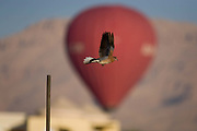 A bird in flight against the distant background of a landing hot air balloon in a West Bank village of the modern city of Luxor, Nile Valley, Egypt. Having taken off from the pole on the left, the bird is a Laughing Dove (Spilopelia senegalensis).