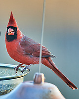 Northern Cardinal (Cardinalis cardinalis). Image taken with a Nikon D5 camera and 600 mm f/4 VR telephoto lens.