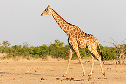 Giraffe at Etosha National Park, Namibia, Africa