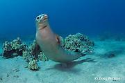 Hawaiian monk seal, Monachus schauinslandi, yearling female ( critically endangered species ) with flipper tags, Mahukona, Kohala, Hawaii Island ( the Big Island ) Hawaiian Islands, USA ( Central Pacific Ocean )