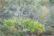Saw Palmetto and Moss Covered Trees in the Rain, Ocala National Forest, Florida