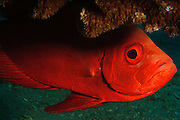 Israel, Eilat, Red Sea, - Underwater photograph of a Crescent-tail Bigeye (Priancanthus blochii)