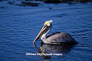 00672-00417 Brown Pelican (Pelecanus occidentalis) J.N. Ding Darling NWR   FL