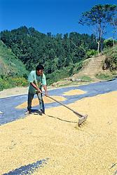 Man Raking Corn