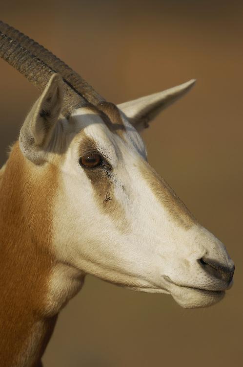 Scimitar-horned oryx (Oryx dammah), Dubai Desert Conservation Reserve, Dubai, UAR.