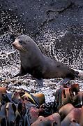 New Zealand Fur Seal, Arctocephalus foresteri, Bounty Island, Sub Antaarctic