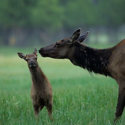 Elk, (Cervus elaphus) Spring calf pulls away from cow trying to groom it. Early summer.