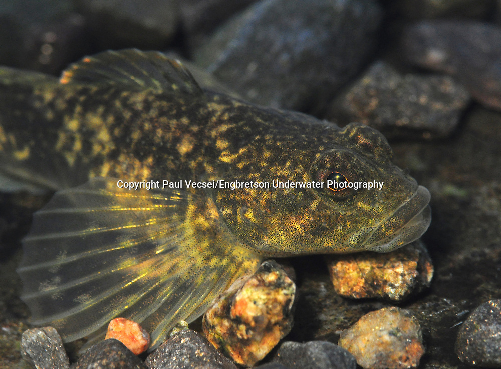 Slimy Sculpin<br />