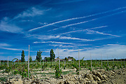 New vines planted in vineyard at Chateau Fontcaille Bellevue in Bordeaux wine region of France