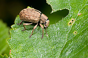 Close up of a bronze coloured weevil (Polydrusus mollis) eating a leaf in a Norfolk wood