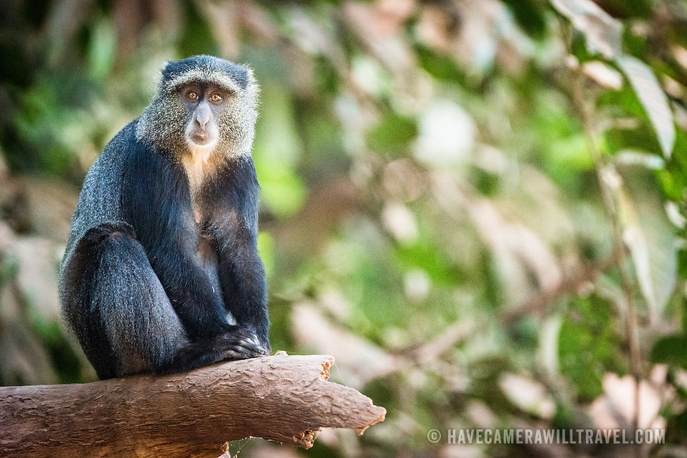 A blue monkey sits quietly on a branch at Lake Manyara National Park in northern Tanzania.