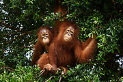 Two young orang-utans play in a tree at Nyaru Menteng Rehabilitation Centre, run by the Borneo Orangutan Survival Foundation, in Central Kalimantan, Borneo, Indonesia on 27th May 2017. Orang-utans are rescued from situations including being illegally kept as pets and being orphaned by loggers or workers on palm oil plantations. During their rehabilitation process their contact with humans is kept to a minimum, and they spend several years at forest school where they learn how to live independently.