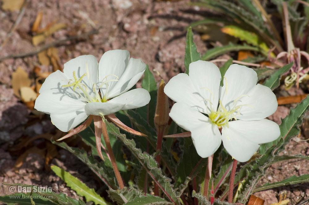 Tufted evening primrose, Oenothera caespitosa. Near Pena Blanca Lake, Coronado National Forest, Arizona