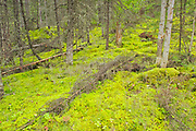 Black spruce trees and lmoss covered forest floor in the Boreal forest <br />Pisew Falls Provincial Park<br />Manitoba<br />Canada