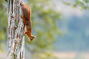 Eurasian red squirrel (Sciurus vulgaris) from Telemark, Norway.