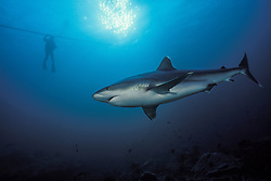A Silvertip Shark, Carcharhinus albimarginatus, patrols the reef as a diver watches while ascending a mooring line. Burma Banks, Andaman Sea, Indian Ocean