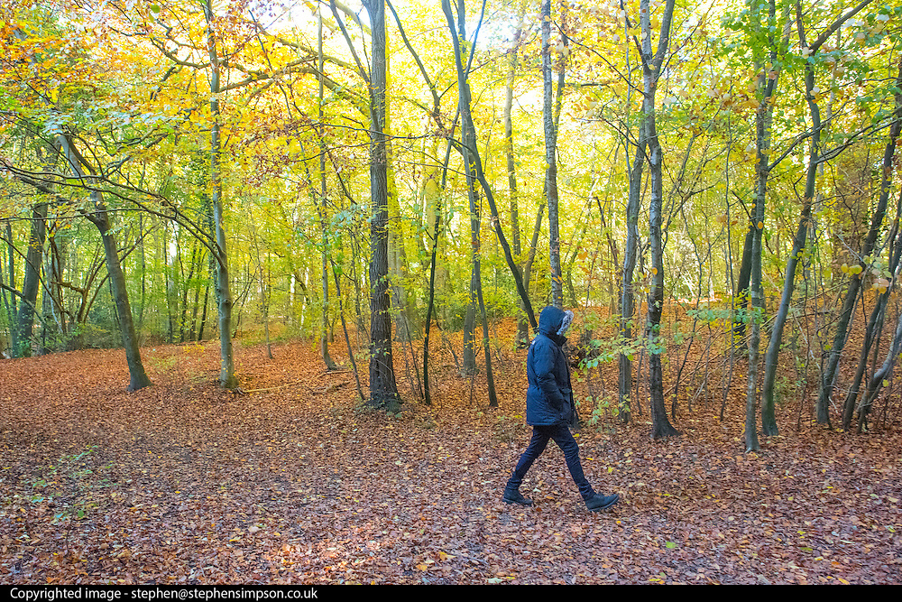 © Licensed to London News Pictures. 06/11/2016. Burnham, UK People walk in the autumn leaves at Burnham Beeches in  Buckinghamshire today 6th November 2016. Photo credit : Stephen Simpson/LNP (PERMISSION GIVEN FOR CHILD)