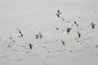 martin mere lapwings in flight with speed blur
