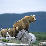 Alaskan Brown Bear, (Ursus middendorffi) Mother with two young cubs walking on driftwood, Katmai National Park, Alaska.