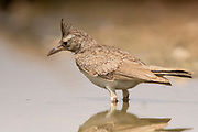 Crested Lark (Galerida cristata) near water,  Crested larks breed across most of temperate Eurasia from Portugal to north-east China and eastern India, and in Africa south to Niger. Photographed in the Negev Desert, israel in June