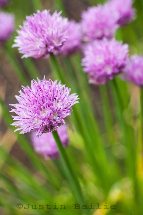 Chive blossoms in garden.